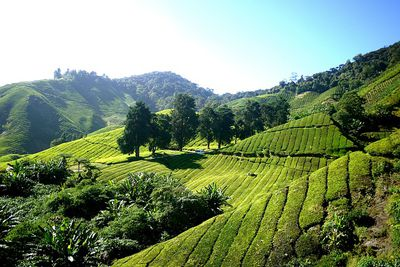 Cameron Highlands Plantage